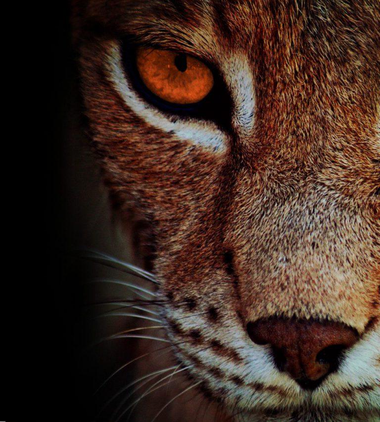 Un lynx aux yeux oranges